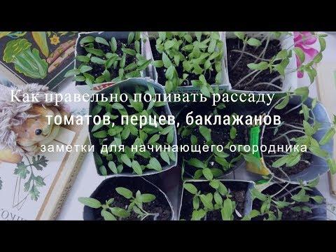 Как правильно поливать рассаду на подоконнике   баклажанов   баклажаны   чудесный   рыхление   томатов   рассада   урожай   томаты   перцев   огород