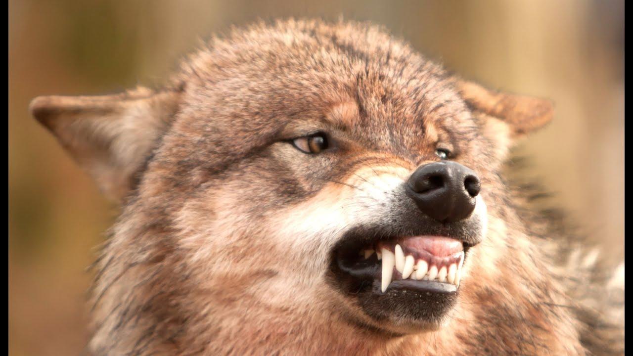 Wolfsrudel Verhalten