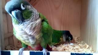Green Cheeked Conure Nesting Box