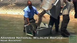 Louisiana Pelican Release in Texas - Texas Parks and Wildlife [Official]