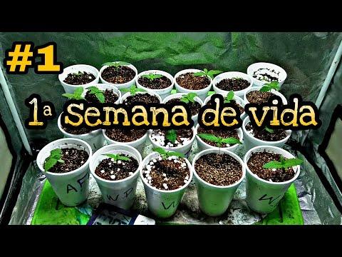 1 SEMANA DE VIDA, GUIA DE CULTIVO INDOOR, CANNABIS MEDICINAL