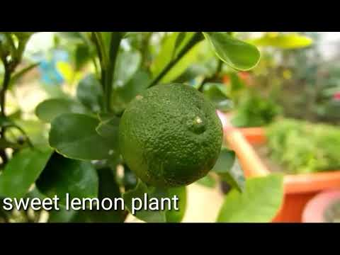 Sweet lemon plant care and grow in pot