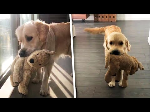 Golden Retriever And Stuffed Animal Bestie Are The Cutest Youtube