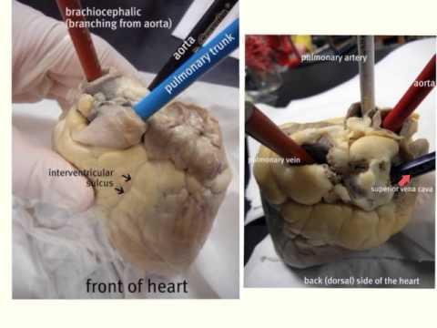 Sheep Heart Anatomy