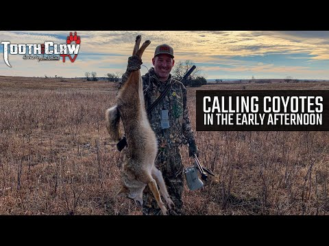 Calling Coyotes In The Early Afternoon – Coyote Hunting