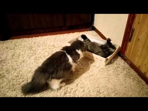 Two cats fight for a place in a shoe box