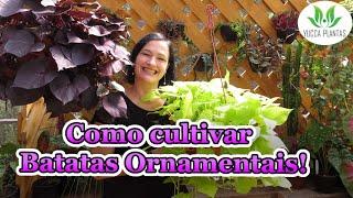 Como Cultivar Maravilhosas Batatas Ornamentais
