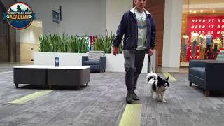 Asheville Dog Academy - Papillon 10 Day Board & Train Transformation - Asheville NC Dog Trainer