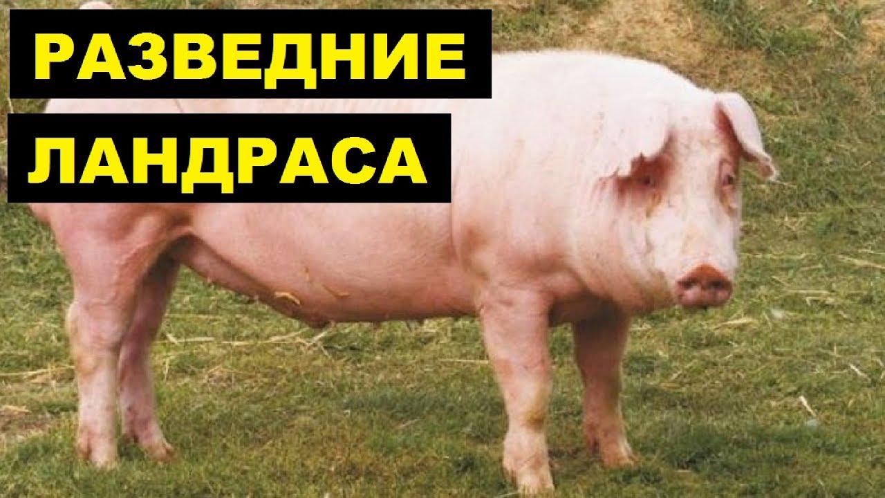 Разведение ландраса как бизнес идея | Порода свиней ландрас