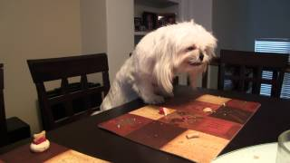 How Dog's Celebrate Birthdays (mine at least) It's our Shih Tzu's b...