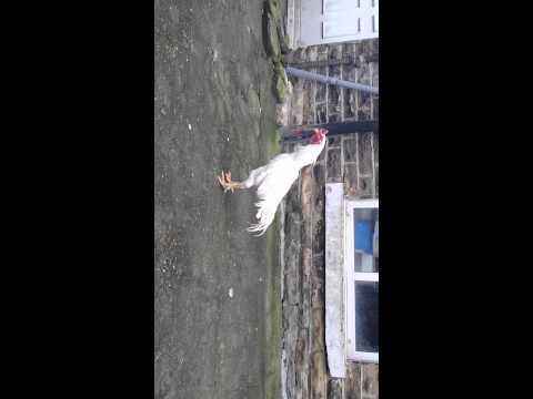 Bradford aseel chicken, chakswari