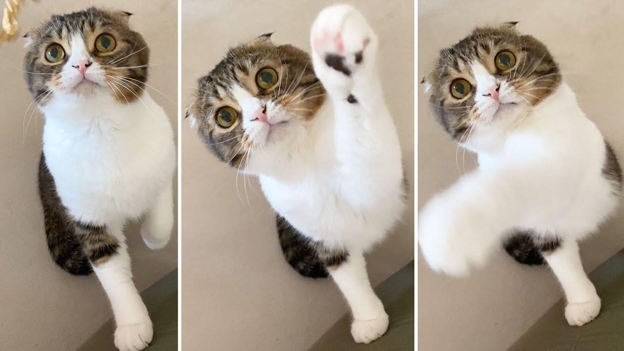 🐈真ん丸猫の必死な猫パンチが可愛いw #shorts