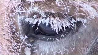 Документальный фильм о якутской лошади