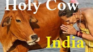 Indian Holy Cows- How Indian Hindu Kill Holy Cows For Export!