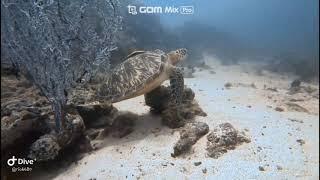 스쿠버 다이빙 필리핀 사방비치 바다거북 20190906…