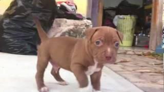 Angry  Pitbull Puppy