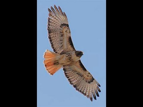 Red Tailed Hawk Animal Totem And Spirit Guide Discussion Youtube