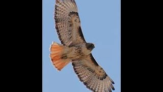 Red-Tailed Hawk Animal Totem and Spirit Guide Discussion