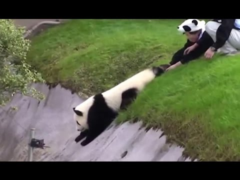Маленькая красная панда смотреть видео прикол - 1:39