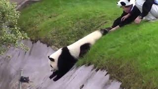 Sevimli panda bakıcılarını böyle uğraştırdı