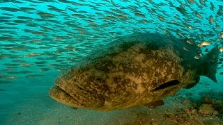 Goliath Grouper | JONATHAN BIRD'S BLUE WORLD