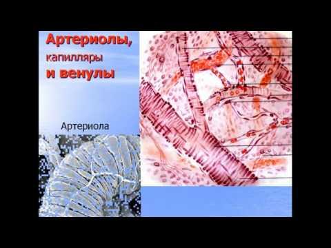 Сердечно-сосудистая система. Видео лекция С.М.Зиматкин (15)