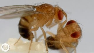 These Fighting Fruit Flies Are Superheroes of Brain Science | Deep Look