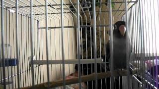 Blue Masked Lovebird Singing-Lovebird Singing