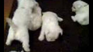 Westie Puppies Playing