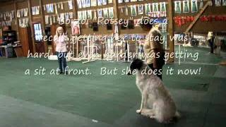 Different Breeds Of Dogs In Open Obedience Class.wmv