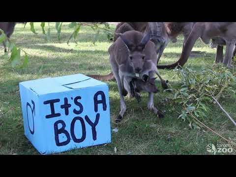 Baby Roo at the Toronto Zoo Name Reveal