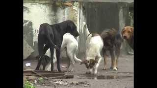 მაწანწალა ძაღლები