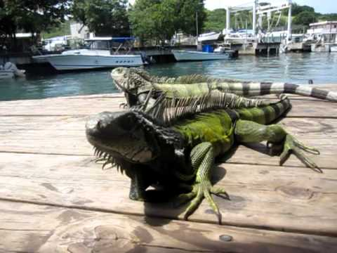 iguanas at mamasitas culebra dining deck
