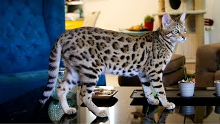 Bengal Cat Personality