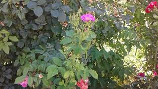 видео Роза