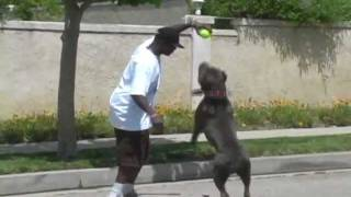 Biggest Bully XXL Huge blue Pit bull, BGK's The Rock playing ball: giant pitbull