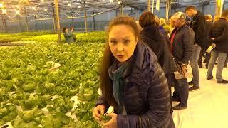 Салатные овощи выращенные в гидропонике вкусны и приятны