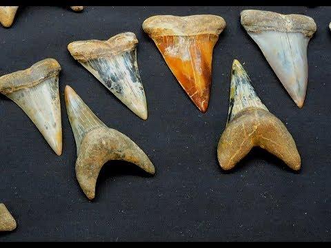 Beautiful Shark Teeth And Marine Mammals From Bakersfield, California