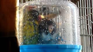 В купалке масковые неразлучники
