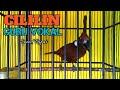 Tembakan Burung Cililin Sebagai Masteran Murai Batu Kacer Cucak Ijo  Mp3 - Mp4 Download