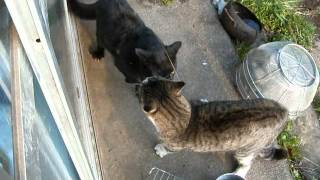 【 please subscribe ^0^】vary angry cats 猫が超~激しい喧嘩(け...