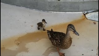 A Duckling with it's Mother at Universal Studios!