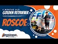 4 month old Golden Retriever Roscoe!| Best dog trainers va| e-collar training|off leash obedience