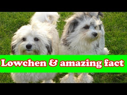 Lowchen Dog Breed And Amazing fact |  Dog fans