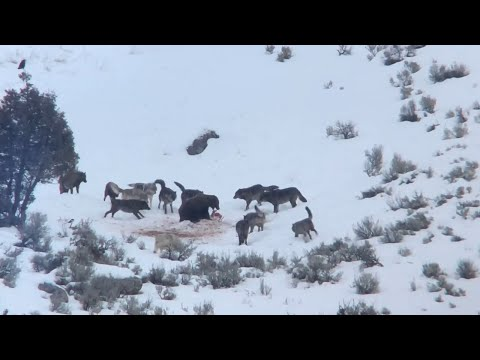 Junction Butte Wolf Pack Surrounds Grizzly Bear in Yellowstone National Park (December 29, 2019)