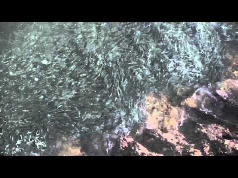 Mackerel Breaking In Youghal