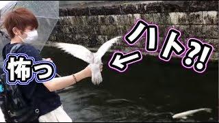 鳩の大群、怖ぇ~!w チャンネル登録お願いします!☆ http://goo.gl/k3...