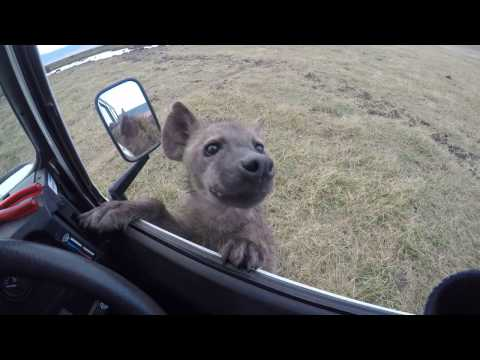Curious spotted hyena jumps on car - Ngorongoro Crater