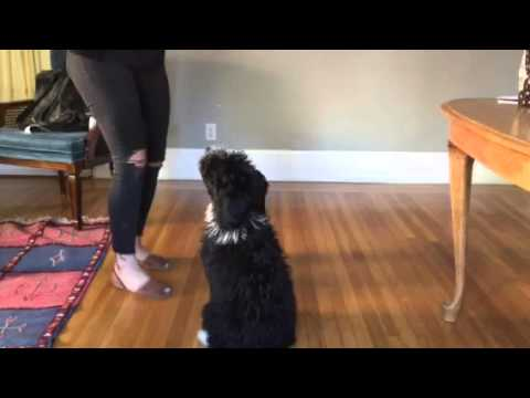 Tucks the Mini AussieDoodle Puppy Tricks 4 months old