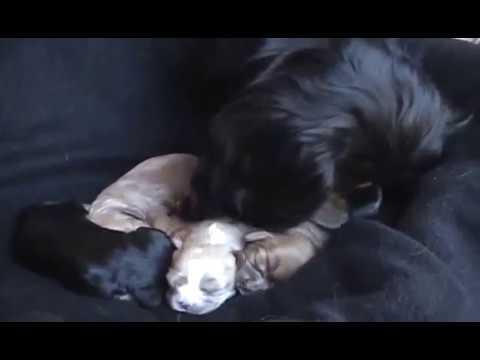 Cute Cavalier King Charles Spaniel Puppies! 1 Weeks Old (Must Watch)